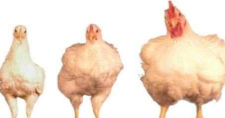 Hormônio na carne do frango uma mentira a ser esclarecida