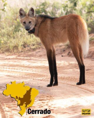A importância da Preservação do lobo-guará